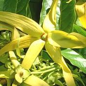 oleo-essencial-ylang-ylang